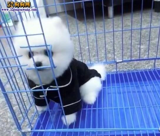 博美犬图片多少钱一只
