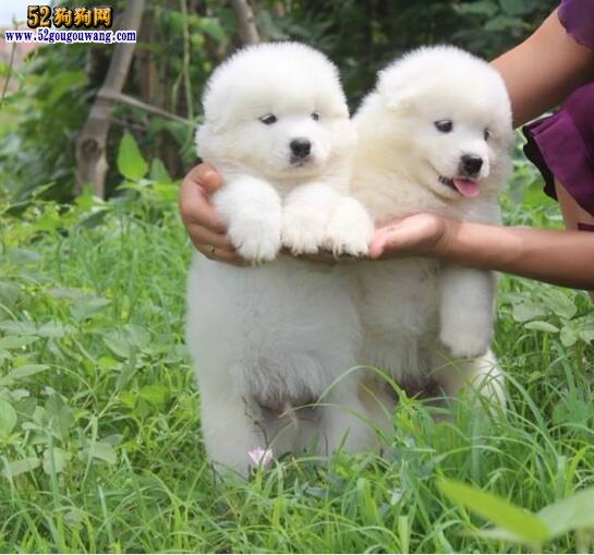 萨摩耶幼犬图片