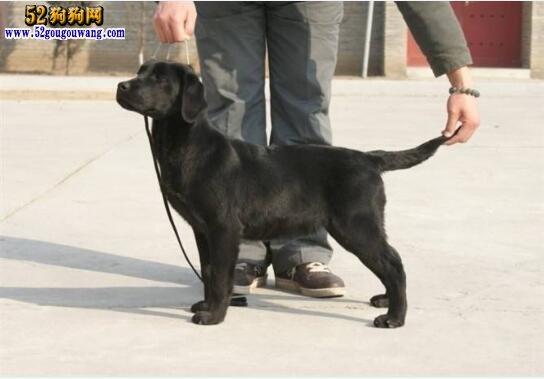 拉布拉多黑色,黑色拉布拉多犬好吗?