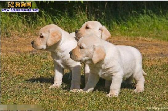 小拉布拉多价格,四大因素影响拉布拉多犬价格