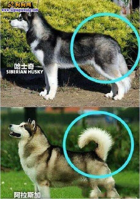 阿拉斯加犬和哈士奇