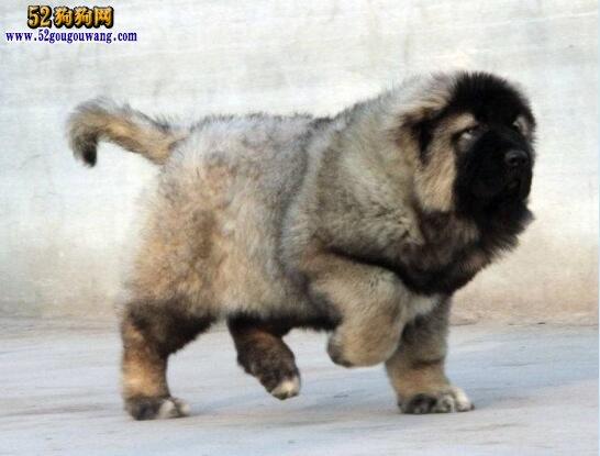高加索犬幼犬