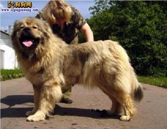 纯种高加索、纯种高加索犬怎么辨别