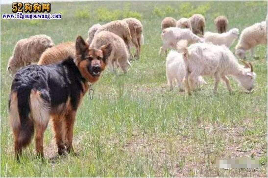 牧羊犬价格