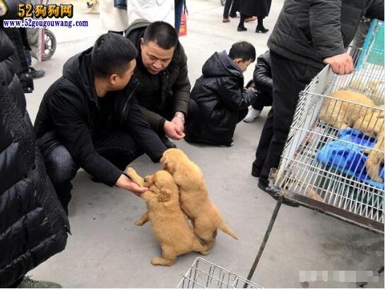 实拍农村小镇狗市:便宜的不能看,藏獒只卖200元一只!