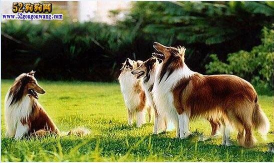 苏牧犬图片