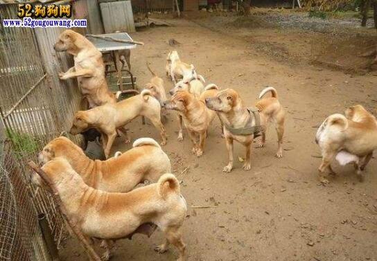 普通沙皮狗多少钱一只