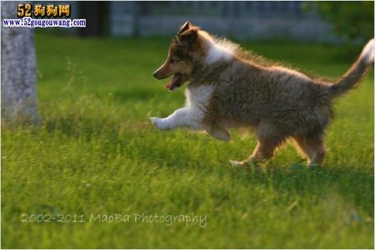 喜乐蒂牧羊犬幼犬图片