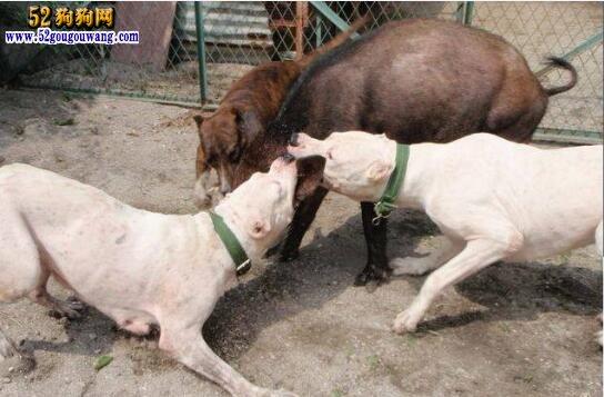 杜高犬怎样训练