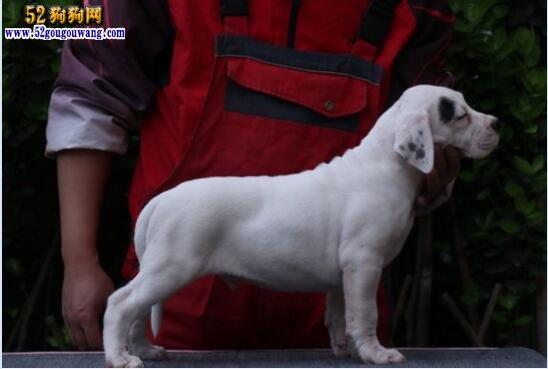 杜高犬图片多少钱一只