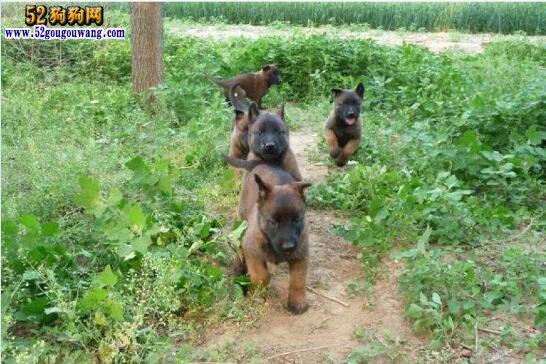 马犬幼犬多少钱一只?