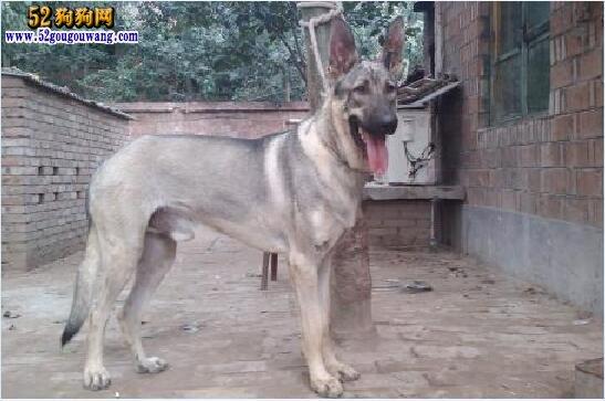 一米高的狼青犬图片