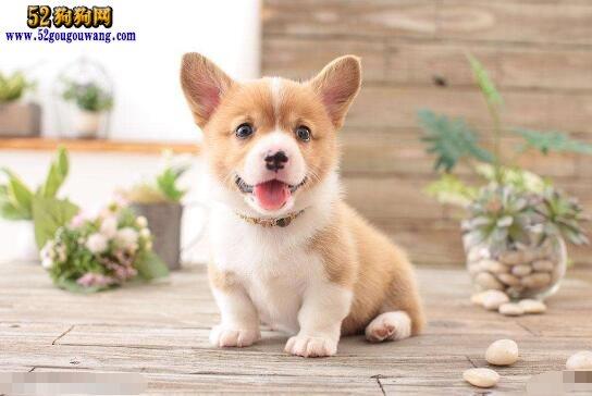 一只柯基幼犬多少钱