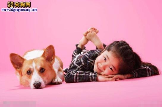 柯基犬对主人的忠诚度有多高?
