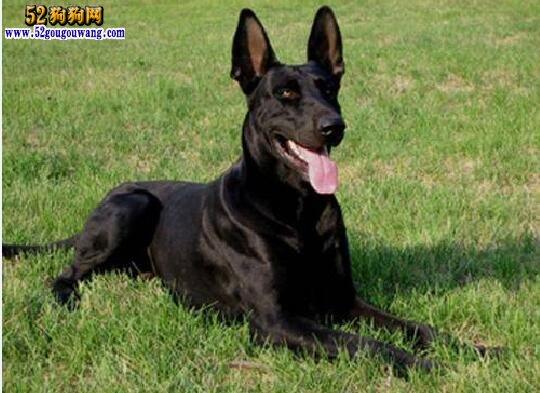 纯种黑狼犬