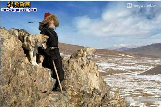 纯种中华田园犬图片
