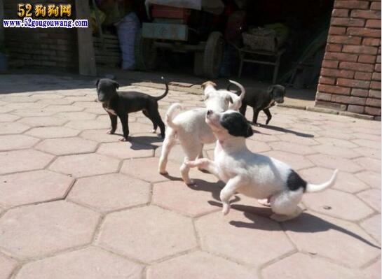 灵缇犬出售、哪里有卖优秀灵缇犬的?