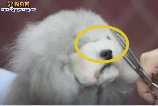 宠物美容视频,专业美容师狗狗八字头修剪示范!