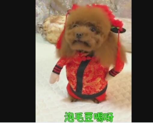 泰迪狗视频搞笑视频