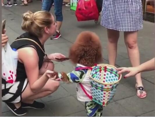 泰迪视频搞笑、两条腿走路最完美的网红泰迪狗欣赏