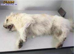 呼和浩特一小区3天8条狗被毒死!