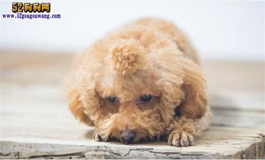 泰迪犬怎么养