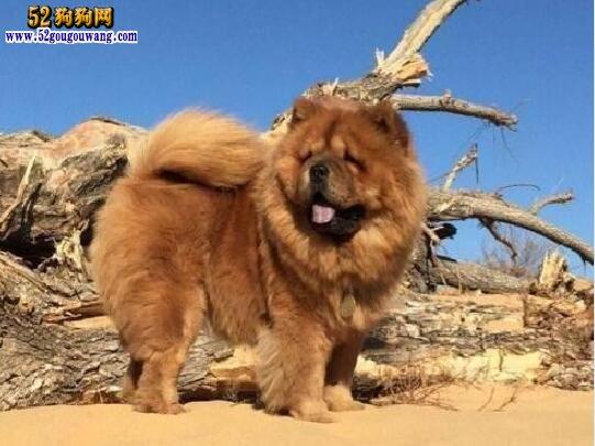 松狮犬好养么