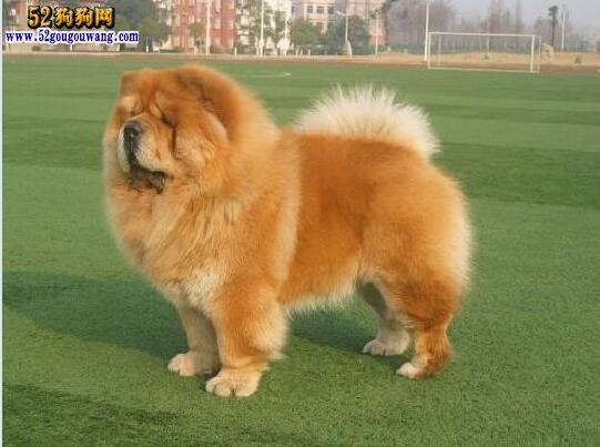 养松狮犬是什么感受