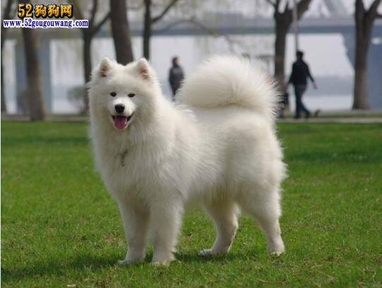 萨摩耶犬价格