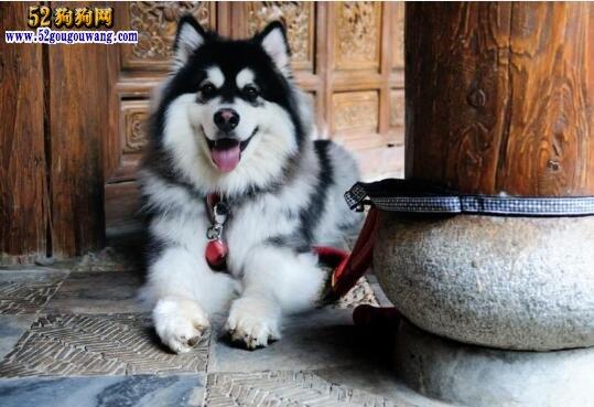 阿拉斯加犬怎样训练