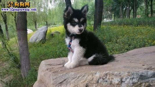 阿拉斯加犬价格