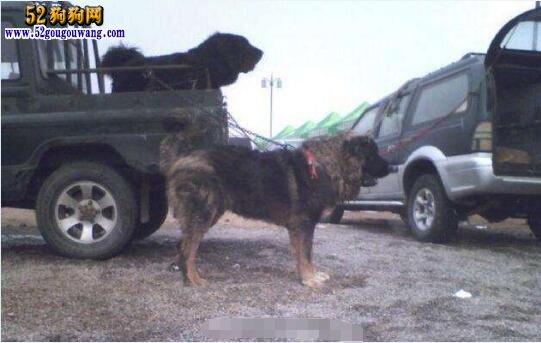 俄罗斯高加索犬