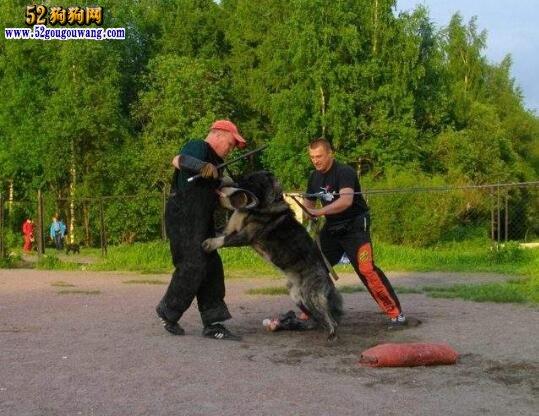 主人可以打高加索犬吗