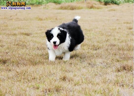 边境牧羊犬出售