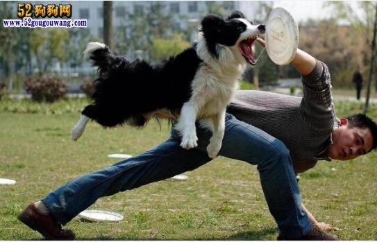 边境牧羊犬图片大全