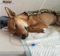 宠物诊所纠纷:宠物狗感染了细小