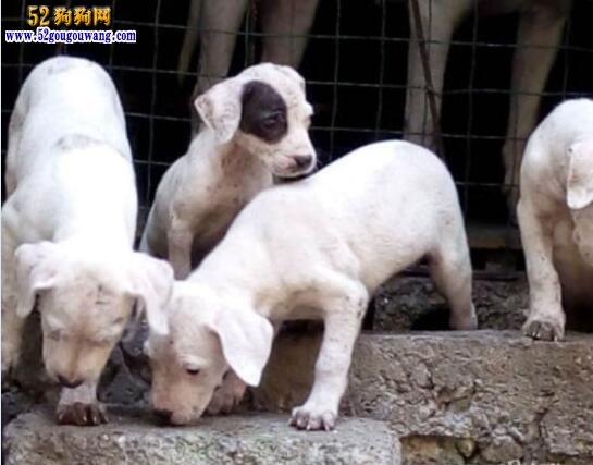 杜高犬幼犬多少钱一只?四大因素影响杜高犬价格!