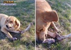加拿大狡猾黑熊用骨头贿赂藏獒犬