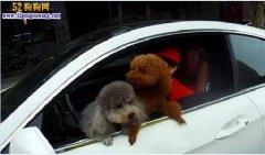 开车如何安置宠物狗?抱狗看车会