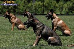 昆明犬怎么训练、刺激