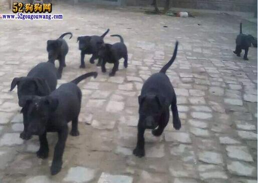 黑狼犬幼犬