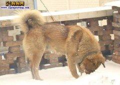 中华田园犬有哪些品种、了解一下中国土狗的品系