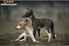 格力犬200元一只图片,格力犬品相决定价格的高低!