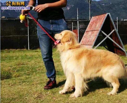 金毛狗怎么训练