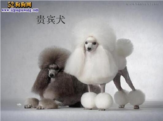 贵宾犬多少钱