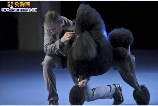 黑色贵宾犬