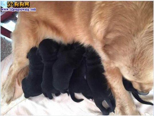 黑色金毛犬图片