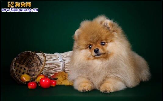 博美幼犬多少钱一只