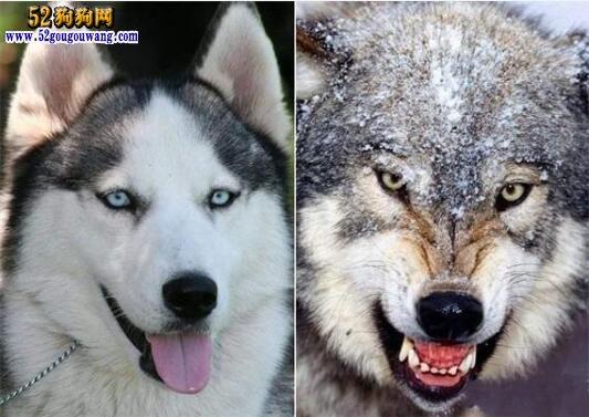 狼和哈士奇
