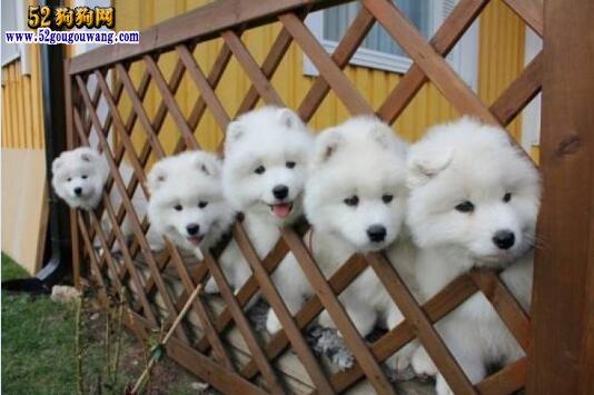 萨摩幼犬多少钱一只